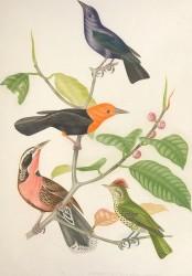 Ornithologie_Brésilienne,_ou,_Histoire_des_oiseaux_du_Brésil_-_remarquables_par_leur_plumage,_leur_chant_ou_leurs_habitudes_(1854)_(14562164077)